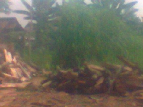 Tumpukan kayu untuk pembakaran dalam mengelola tahu dan di belakangnya terdapat anak sungai dimana limbah di alirkan